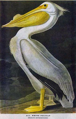 Audubon, John James (1785-1851) - White Pelican