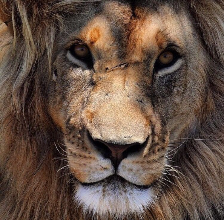Face scars Lion quotes, Lion, Strong quotes