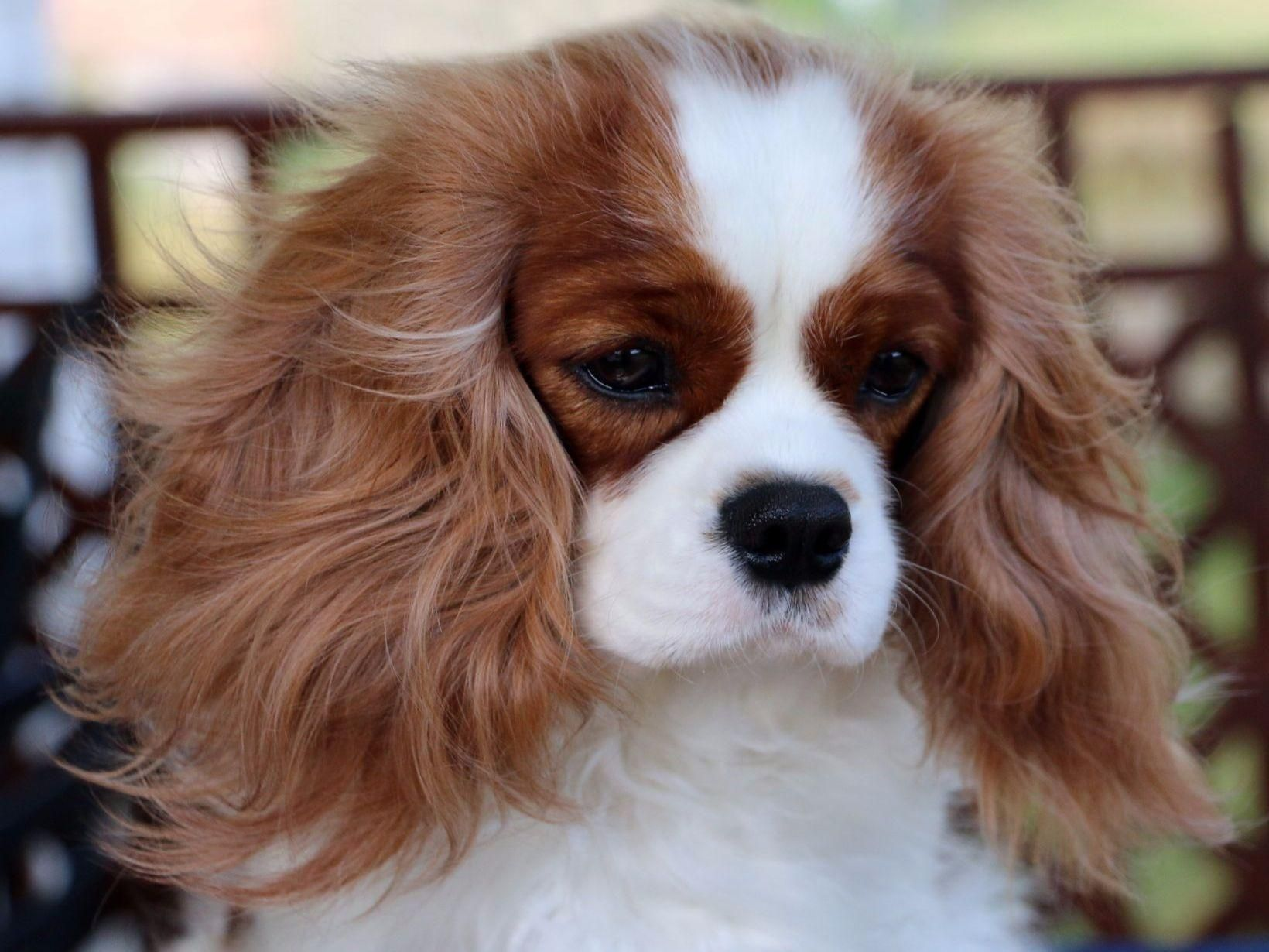 Suzanne Oliver Has Cavalier King Charles Spaniel Puppies For Sale In Ringgold G Cavalier King Charles Dog King Charles Cavalier Spaniel Puppy King Charles Dog