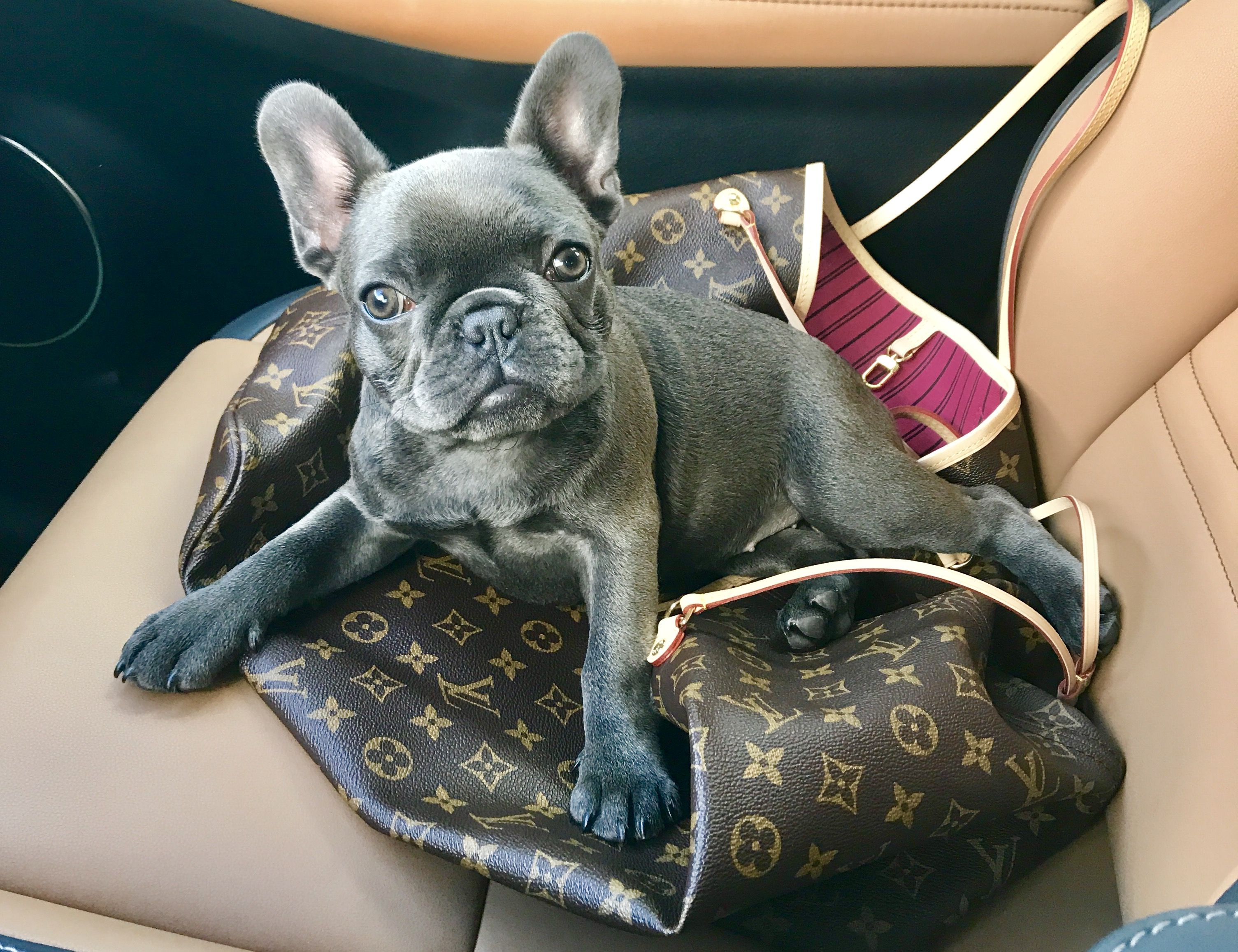 Blue Frenchie With Louis Vuitton Frenchiequilla Designer Style