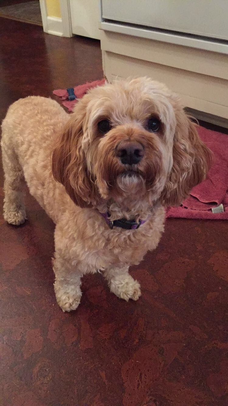 This is my brown Cockapoo (Cocker SpanielPoodle) named