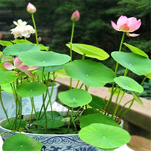 Dwarf Lotus Plants for Aquatic Home Gardens 10 Seeds Mixed Colors