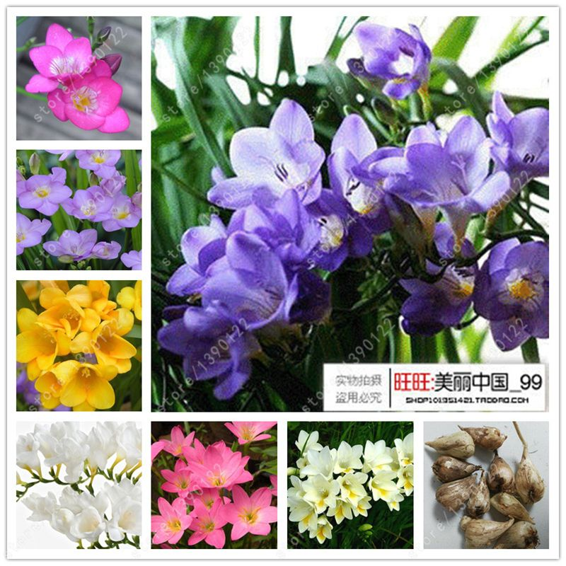 True Freesia Bulbs Flower Freesia Indoor Pot Flowers Orchids Freesia Rhizome Flower Bulbs Floral Quiet Home Garden Bulb Flowers Flower Pots Home Garden Plants