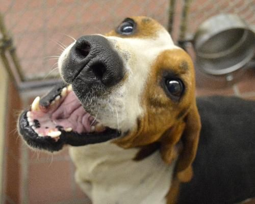 Treeing Walker Coonhound Mix M 2 Years Named Pilgrim In Waynesville