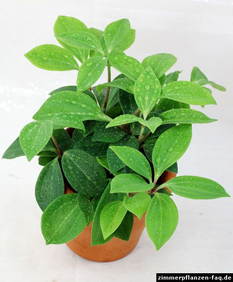 Peperomia Pereskiifolia *