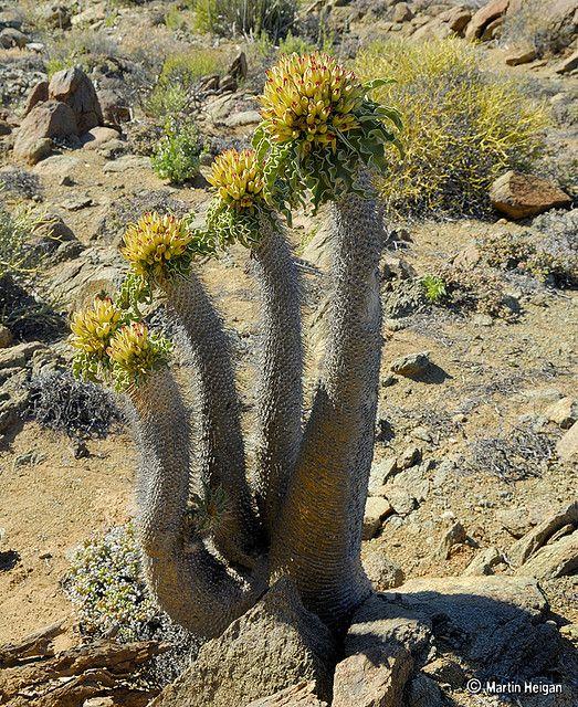 Pachypodium namaquanum (Halfmens) flowering in habitat