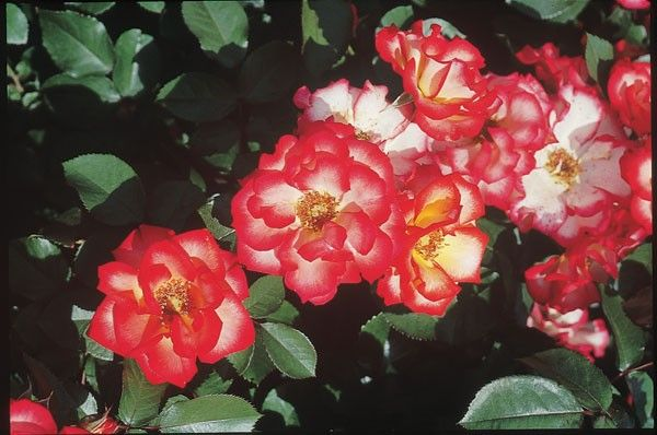 Betty Boop Shrub Roses Roses Heirloom Roses 2 3 Feet Tall 2 3 Feet Wide Shrub Roses Heirloom Roses Flowers