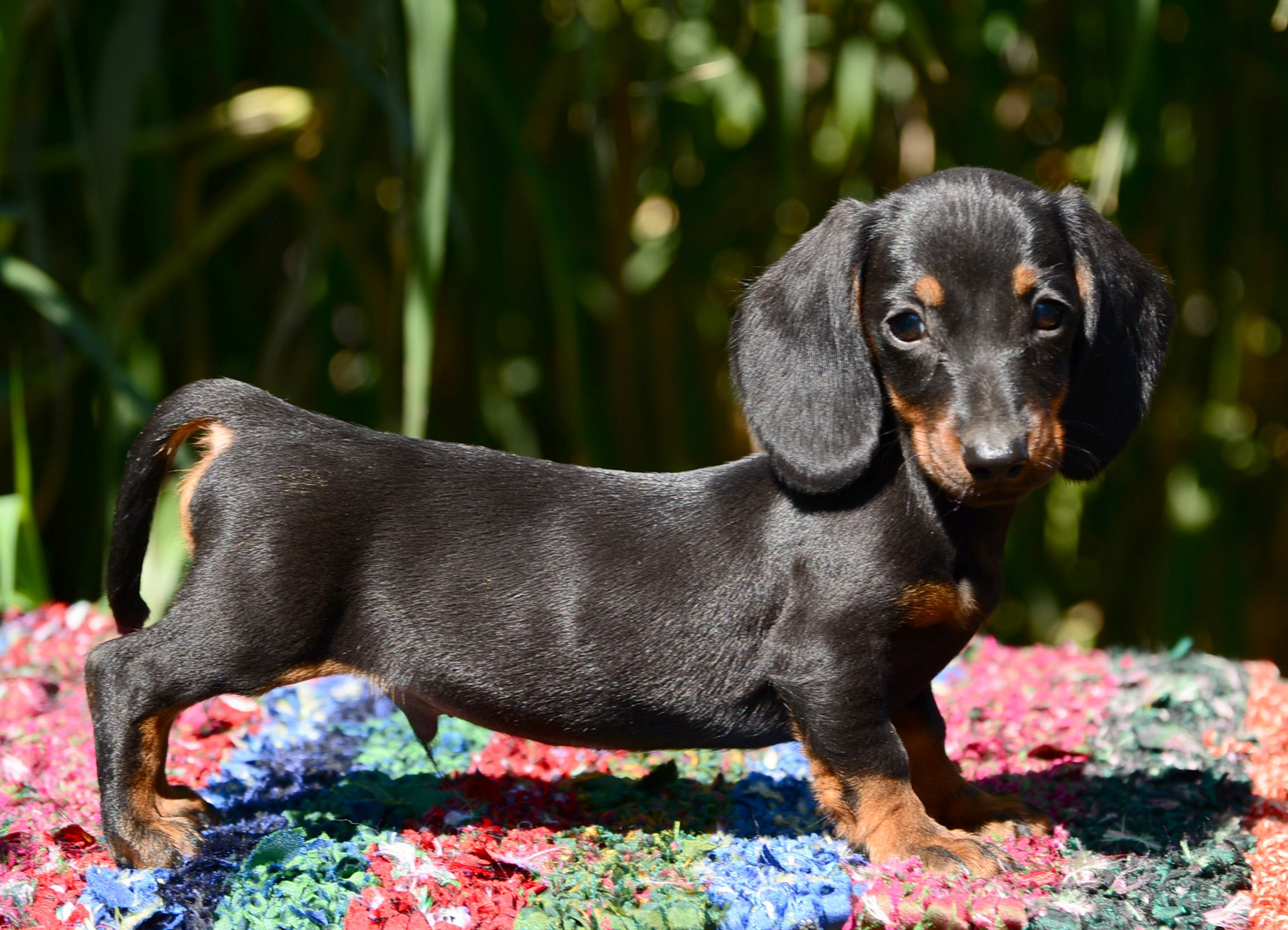 Dachshund (With images) Dachshund, Dachshund puppies
