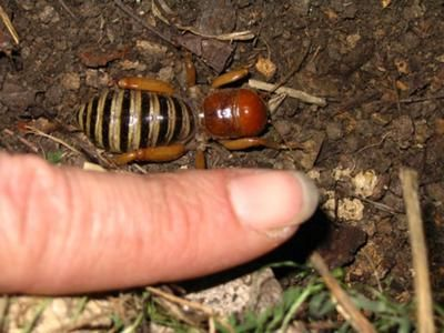 With striped butt Big bug