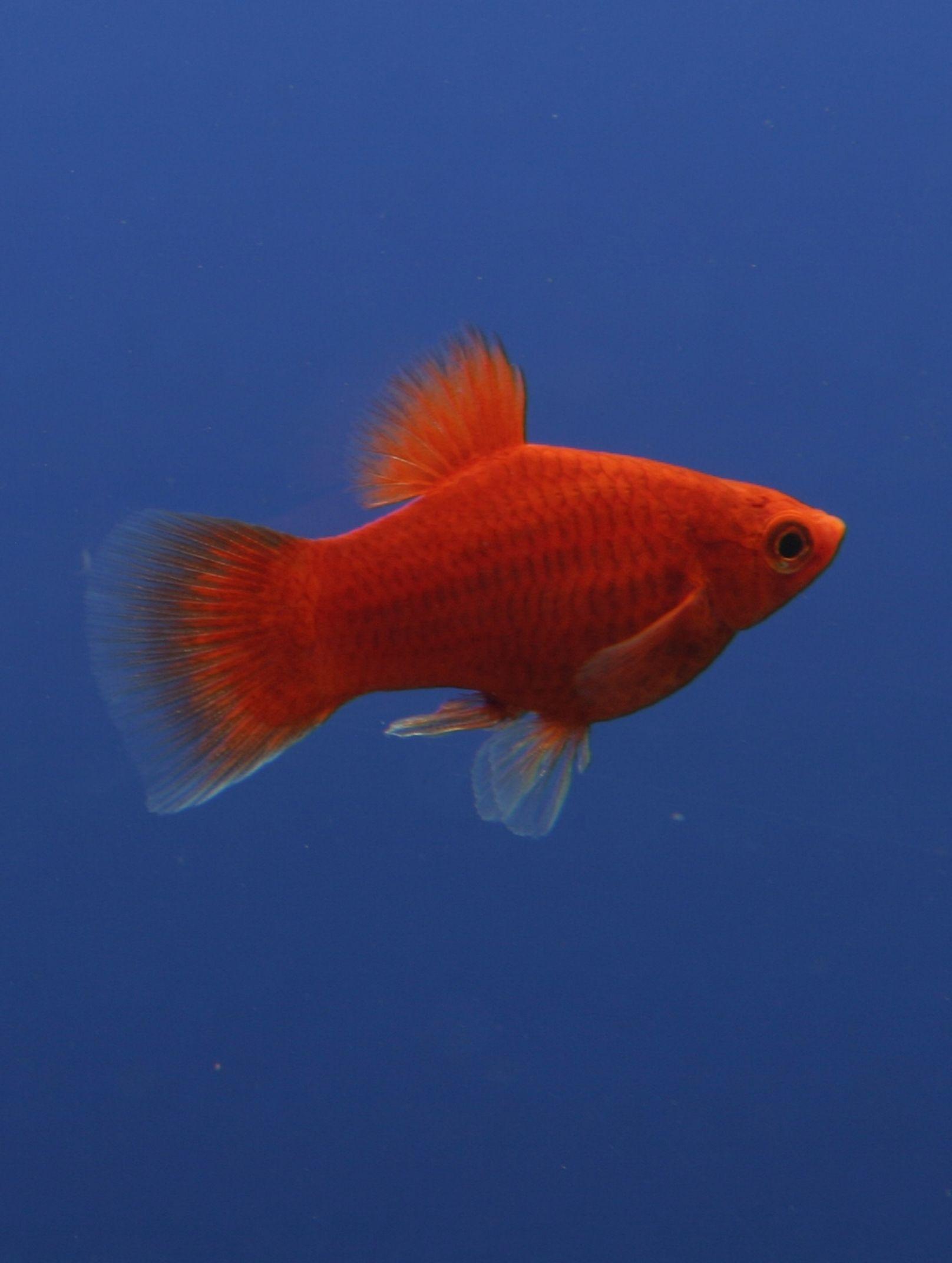 Il pesce Platy | Pinterest