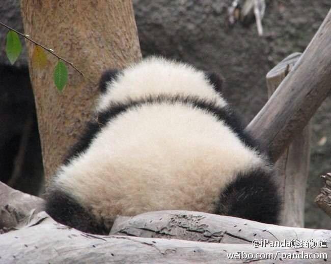 Look At The Little Panda Butt Omggg  Animals    -7781