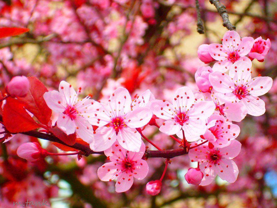 Browse Art Bunga Wallpaper Bunga Indah Bunga Sakura Cherry blossom wallpaper hp