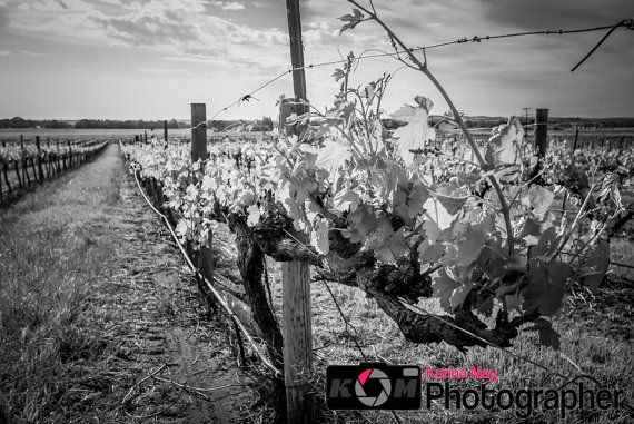 Black and white vineyard photo in the barossa valley vineyards south australia winery