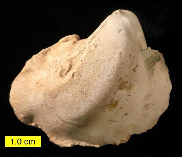 Twitter / mwilson_wooster: #FossilFriday Laevitrigonia ...