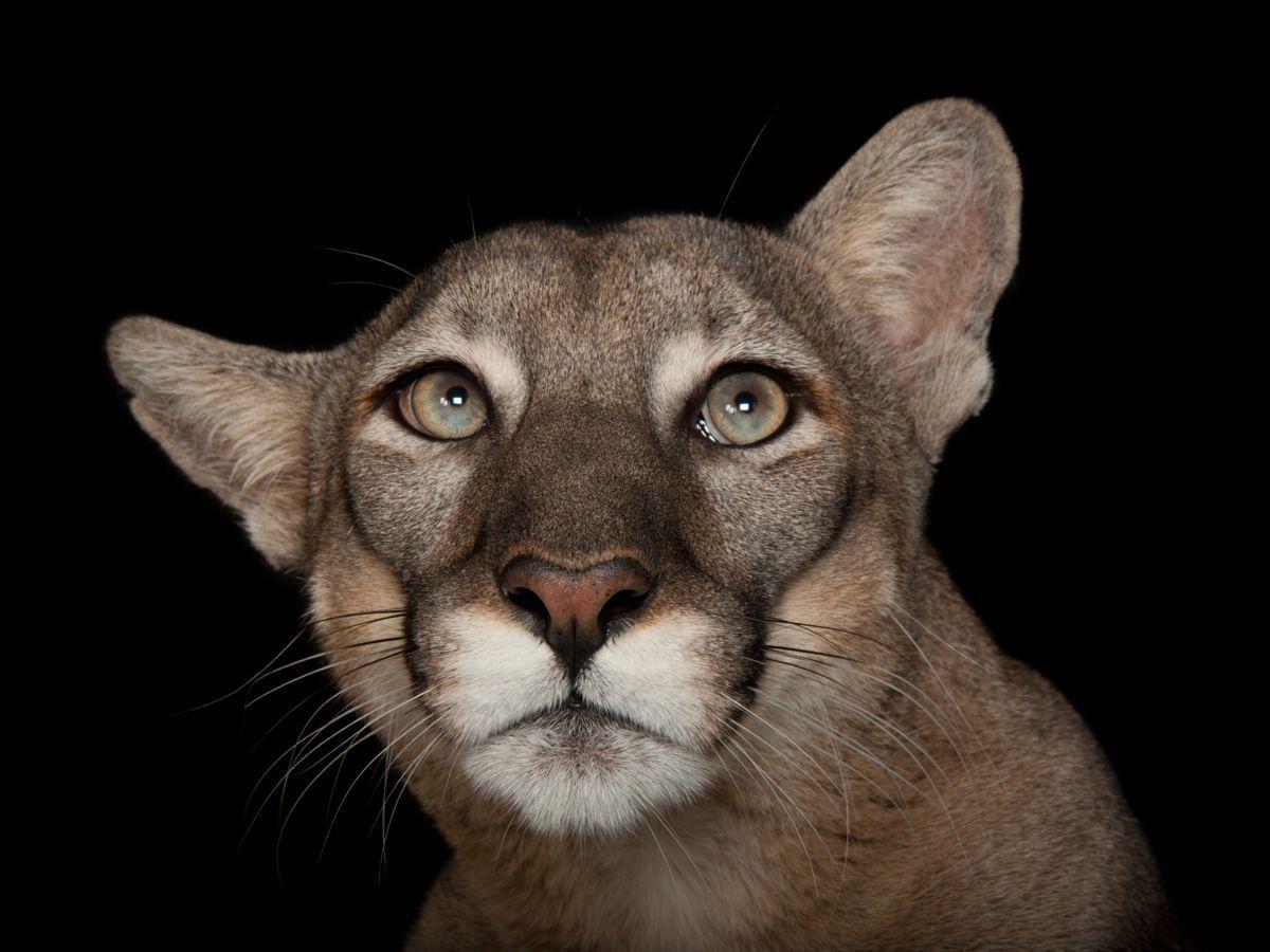 Faune Menacee Faune Magnifiee Ces Animaux En Voie De Disparition Vus Par Joel Sartore En 2020 Animaux Panther Animaux Rares