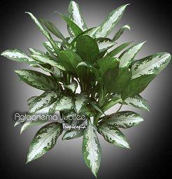 Aglaonema Aglaonema Jubilee Chinese Evergreen planten