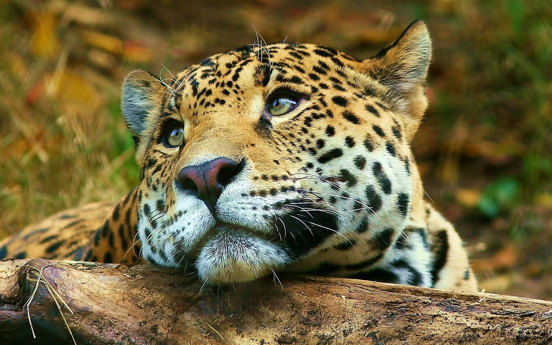 Moody Leopard Wallpaper Binatang Buas Binatang Cantik Kucing Besar