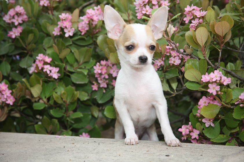 Chihuahua Dog Breed Information Chihuahua Breeds Dog Breeds