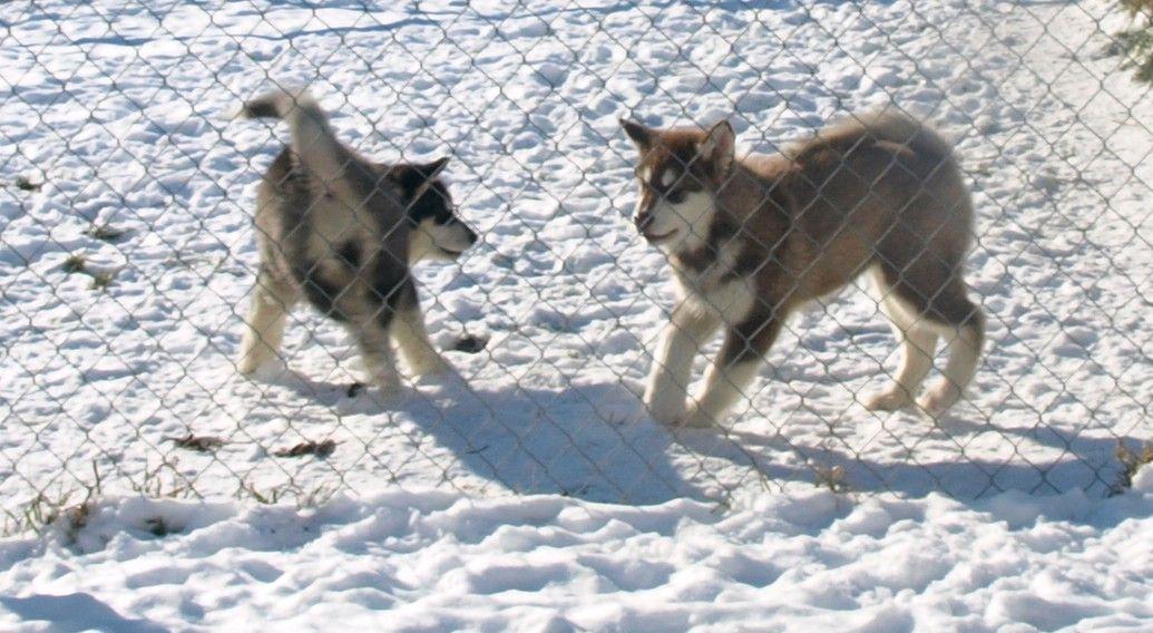 12 week old malamutes at play   Candy Rock Alaskan ...