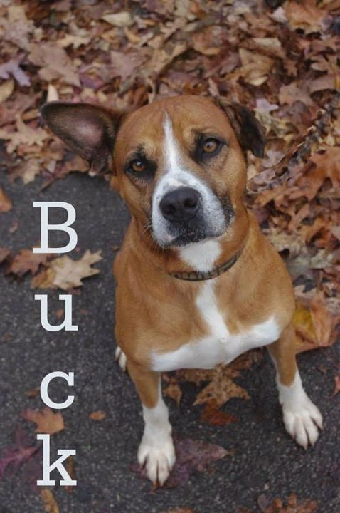 Adopt 644 Buck 8 Adopted On Dog Adoption Dog Pounds Pitbull Dog