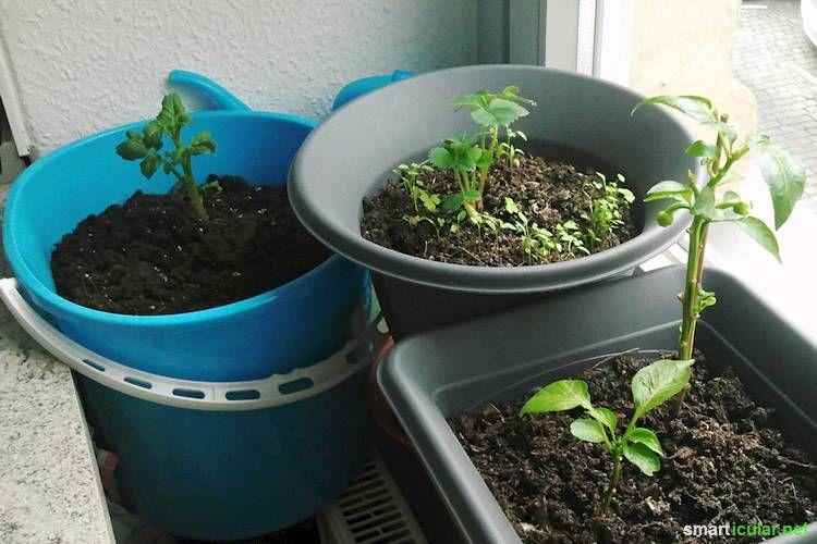 kartoffeln im eimer anbauen so klappt es sogar in der wohnung pflanzen pinterest garten. Black Bedroom Furniture Sets. Home Design Ideas