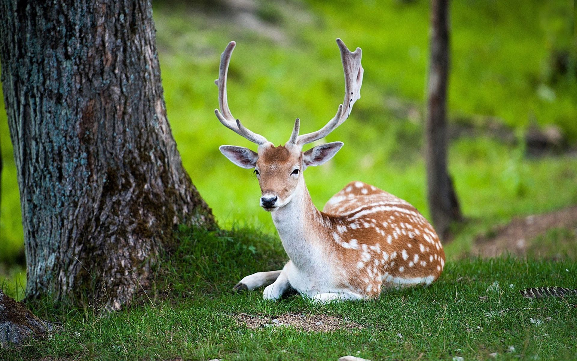 deer hd wallpaper free download | animals | pinterest | hd wallpaper