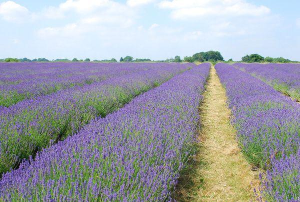 (Visit) Mayfield Lavender Farm, Croydon