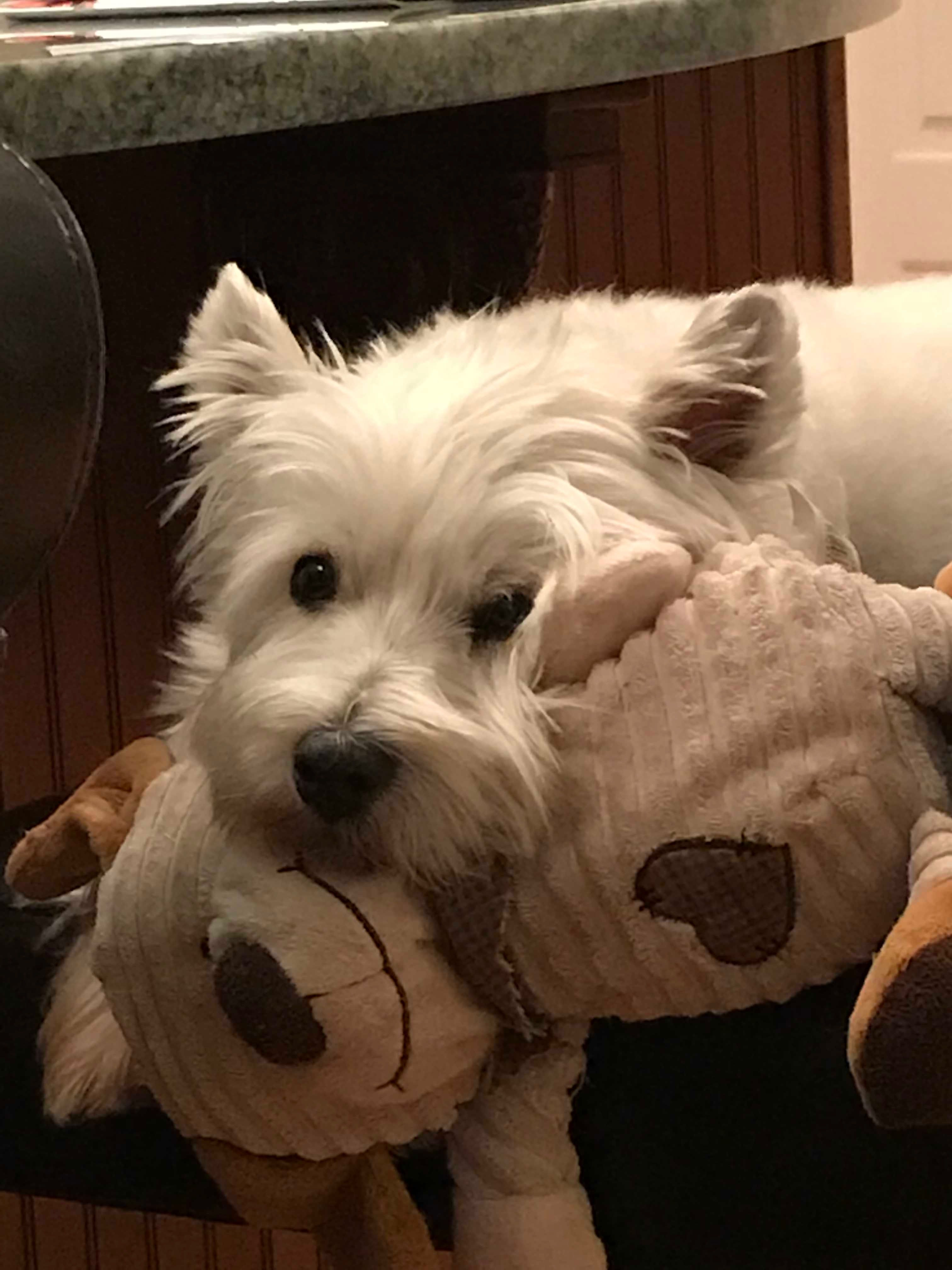 Olldoll The Westie Just Hanging Out With His Buddy Westie