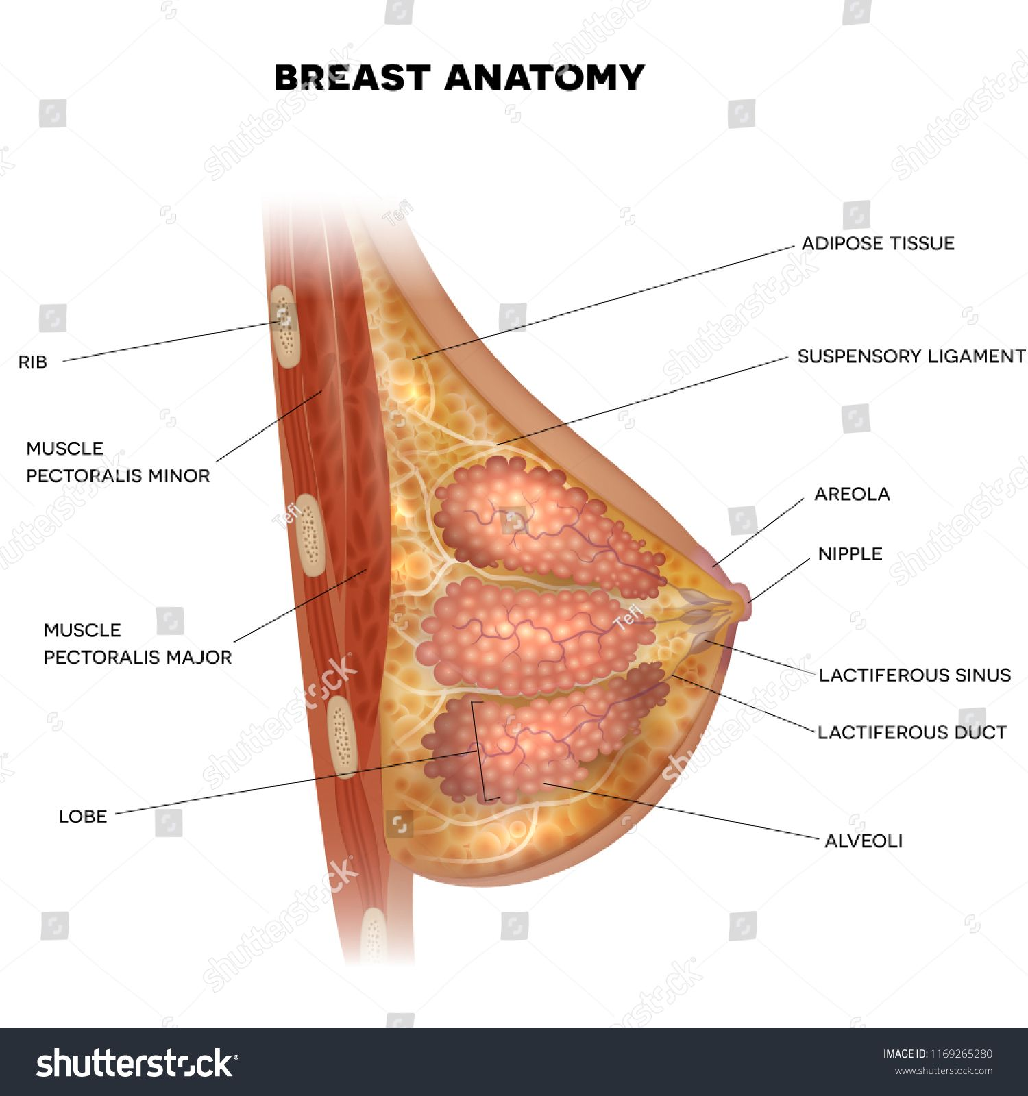 Pin On Female Body Anatomy
