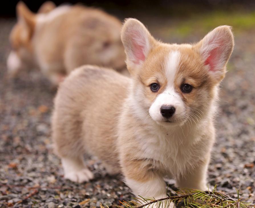 Pin By Kern Batulan On Animals And Pets Welsh Corgi Puppies Pets Puppies