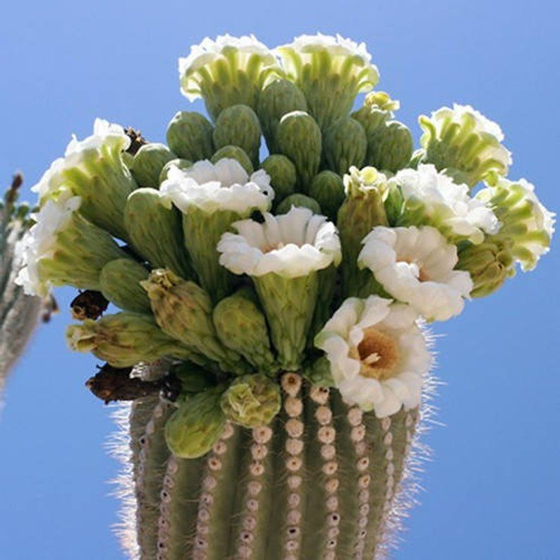 25 seeds Carnegia gigantea-Giant Saguaro Cactus