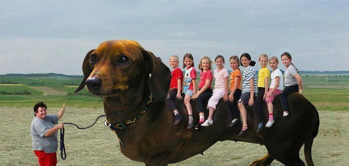 Large Breed Dachshund Weiner Dog Funny Animal Pictures Funny