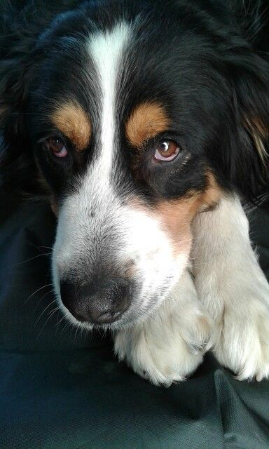 Leo Cucciolone Di Mary E Un Incrocio Tra Un Bernese E Maremmano Bernese Mountain Dog Australian Shepherd Mountain Dogs
