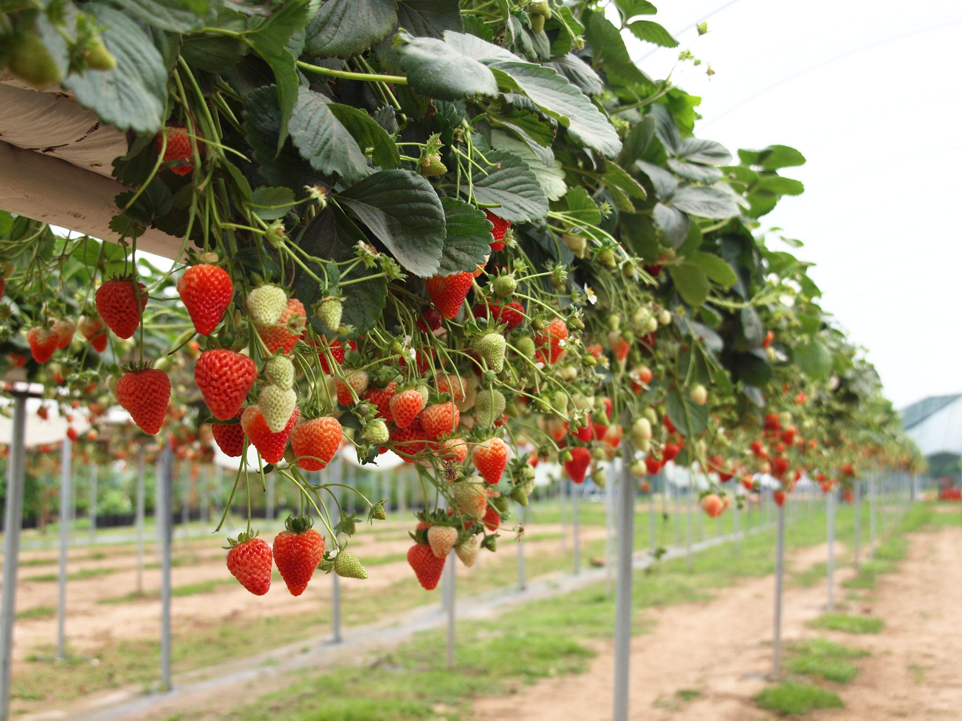How to grow strawberries successfully strawberries for Strawberry garden designs