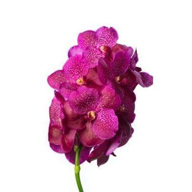 Vanda Orchid Fuchsia Magic Wholesale Flowers Florist Supplies Uk Vanda Orchids Orchids Oncidium Orchids