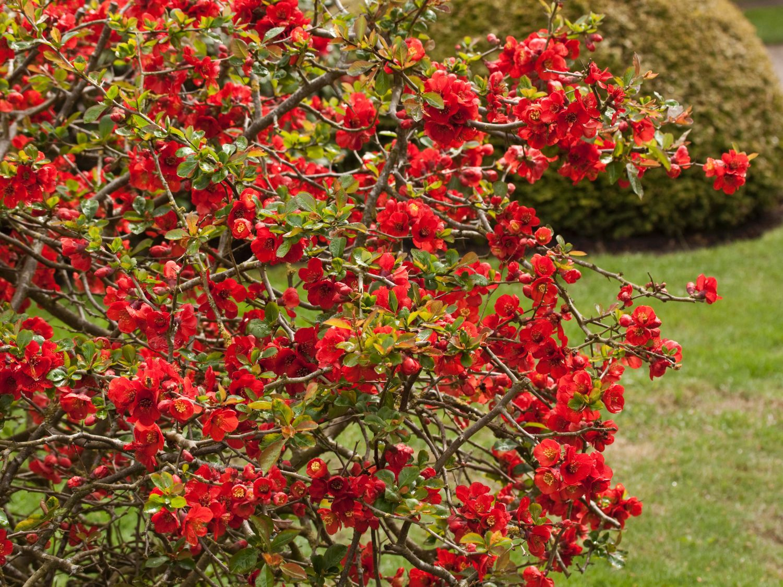 Flowering Quince Chaenomeles x superba Nicoline