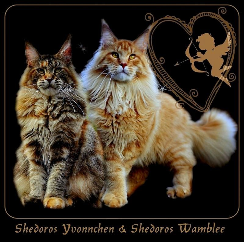Maine Coon Kittens For Sale Kittens Maine Coon