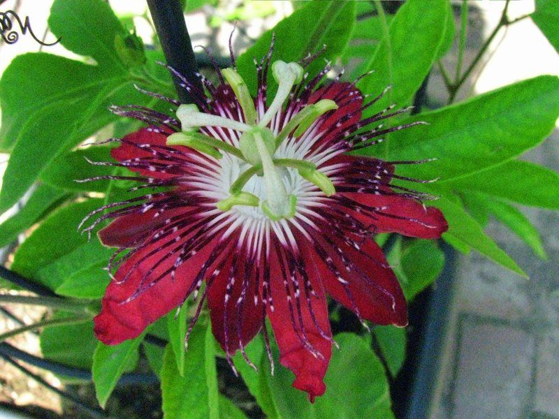 Passion Flowers For Sale Plantfiles Picture 28 Of Passion Flower Passionflower Passion Vine Passion Vine Passiflora Trees To Plant