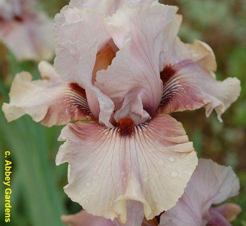 Tb Iris Germanica Toad Price 2012 Iris Flowers Bearded Iris Iris Garden