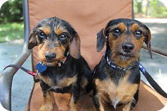 Tampa Fl Dachshund Meet Joey A Dog For Adoption Dog Adoption Dachshund Pets