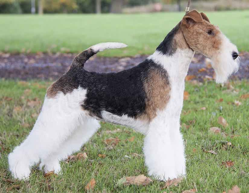 small dog breeds wire fox terrier | DOGS AND.../Psy i ...