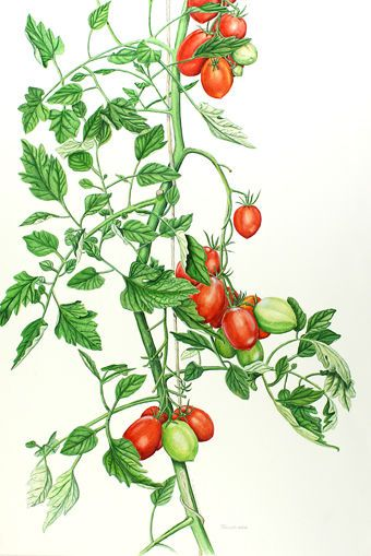 botanical tomato vine | Research for Book Illustrations ...
