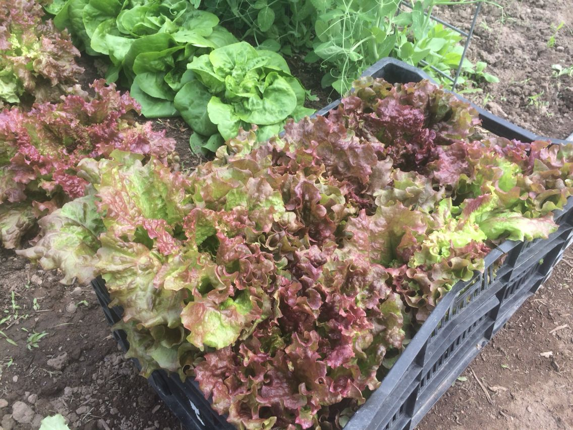 Red Leaf Lettuce Full Of Phytonutrients Per Quot Eating On
