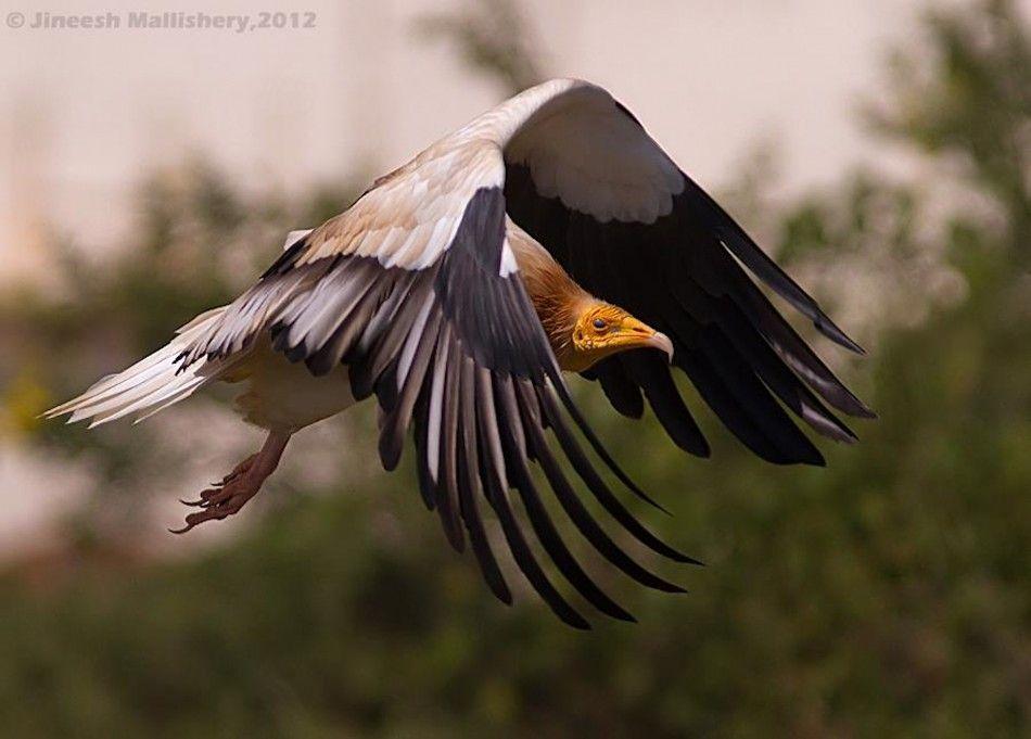 Egyptian-Vulture-Jineesh-Mallishery-950x681.jpg (950×681)