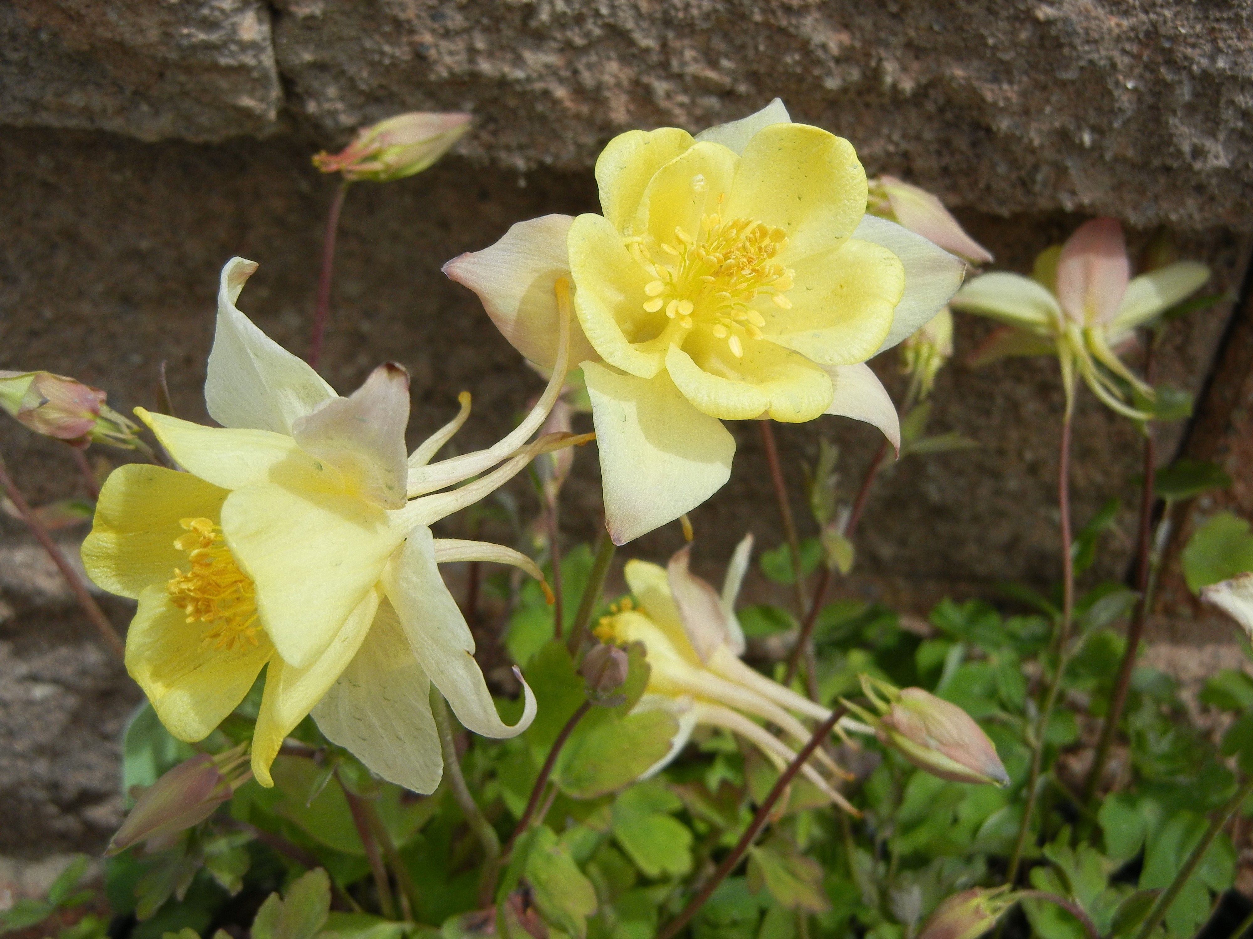Yellow columbine flower things im growing pinterest columbine yellow columbine flower izmirmasajfo