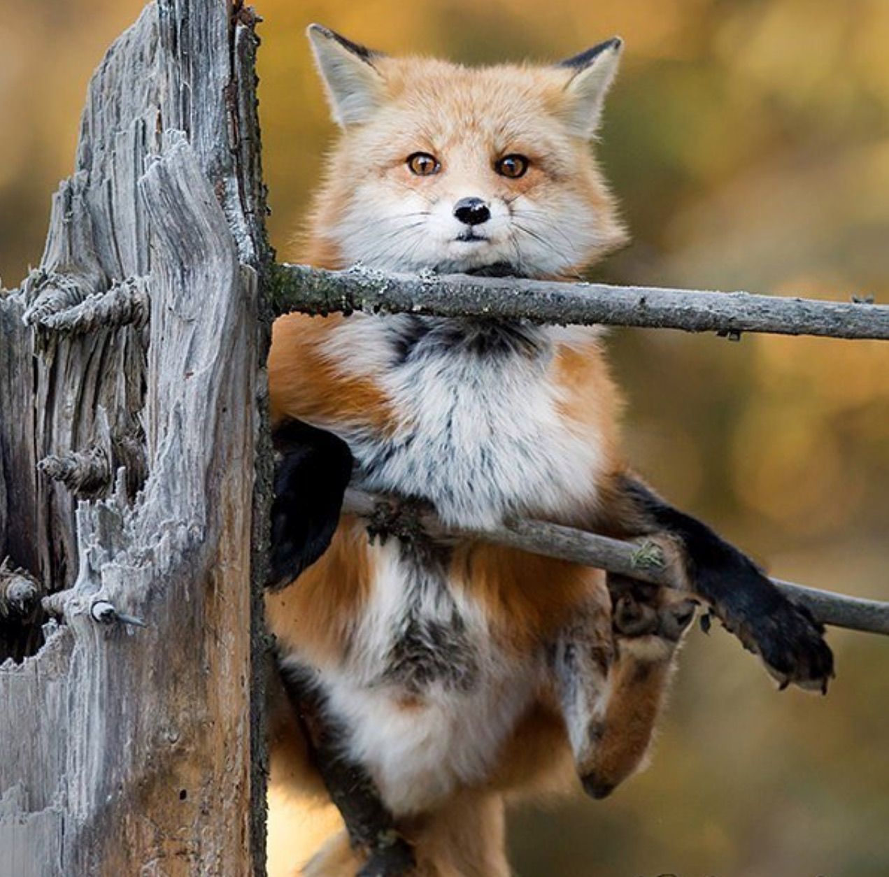 red fox by cr courson chuck courson foxes pinterest red