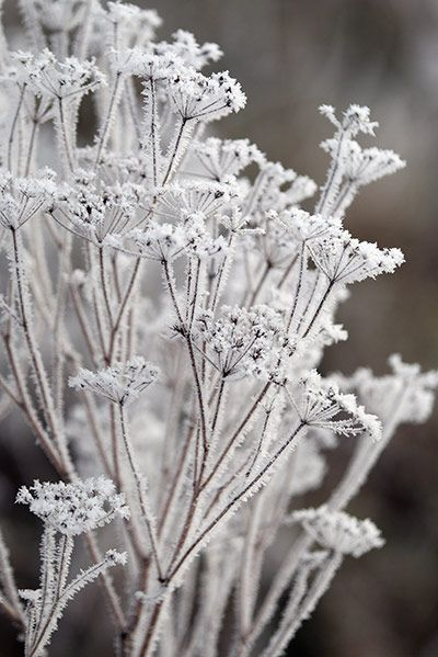 Frozen Plants - cold nature photography with frosty white textures; organic inspiration