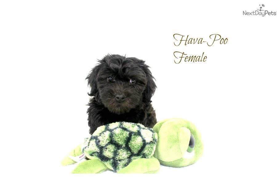You'll love this Female Havapoo puppy looking for a new home