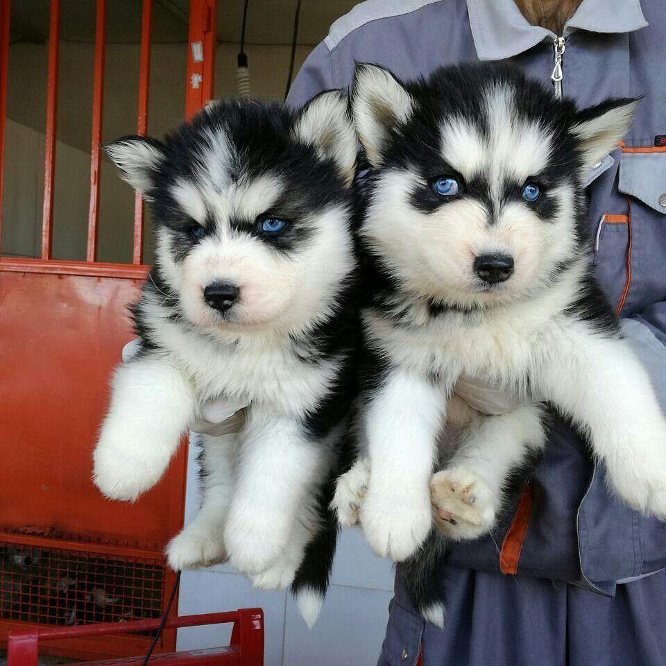 فروش سگ هاسکی فروش توله سگ هاسکی در رنگ های متنوع با چشم های ابی و