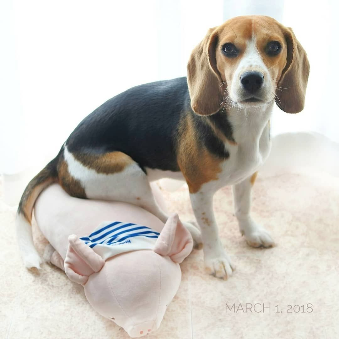 Pin By Mckenzie Mcpieter On Beagles Toys R Us Low Maintenance